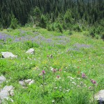 Flowers below Coquihalla